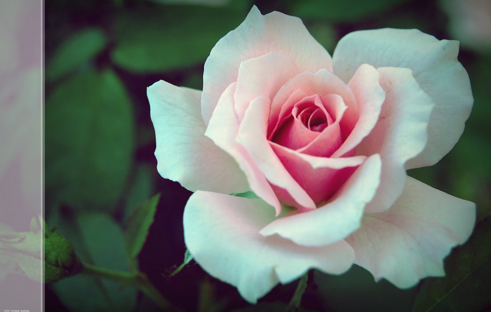 Rose Wallpaper: Pink Rose HD Wallpaper Download Free
