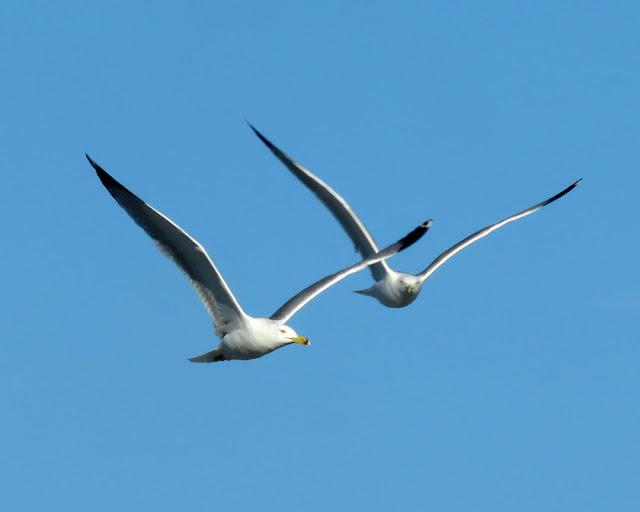 Two Gulls, Porto Mediceo, Livorno