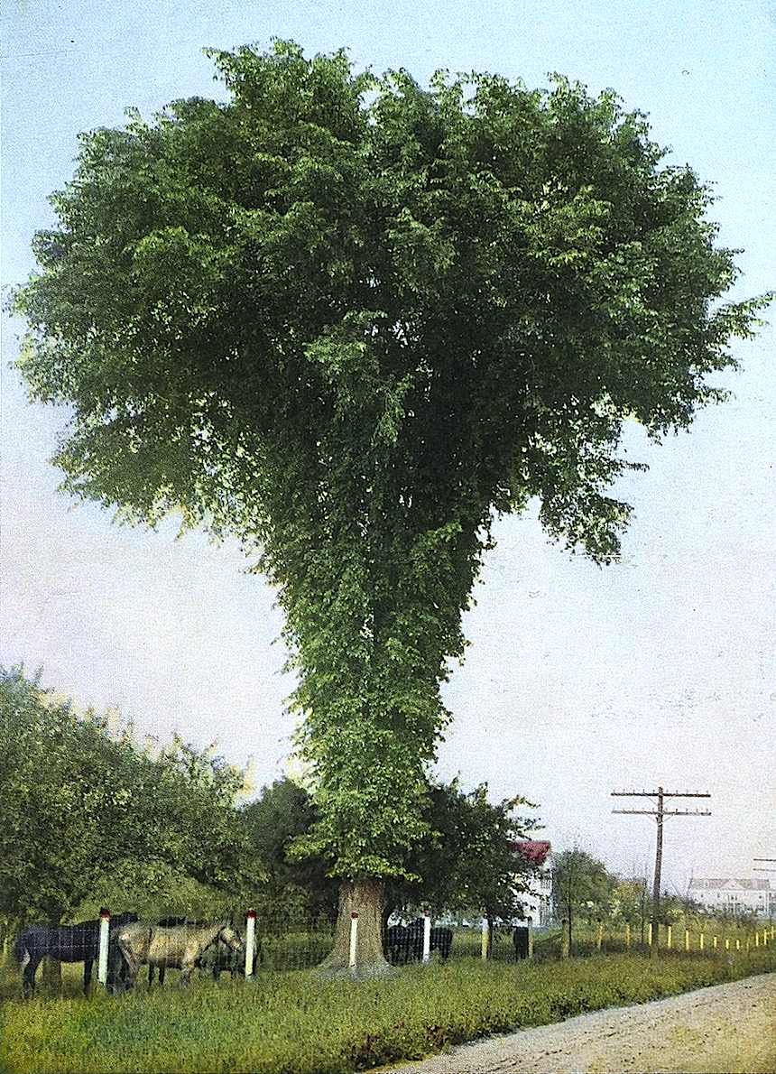 Giant American Elm, hand colored photograph, unusual tinted photograph