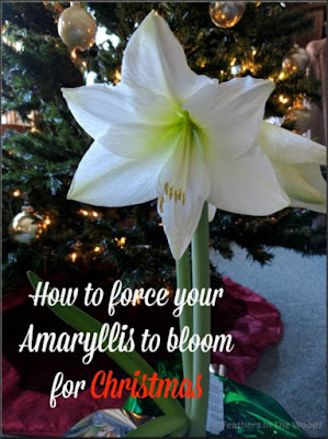 How to force Amaryllis blooms