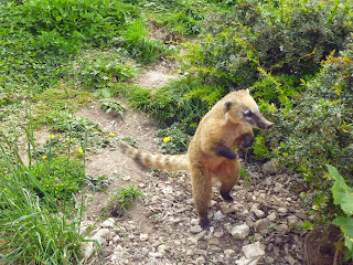 coati hunting Marwell Zoo