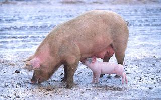 25 Fakta & Informasi Tentang Babi, Binatang Paling Rakus di Dunia