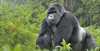 gorila - Uganda
