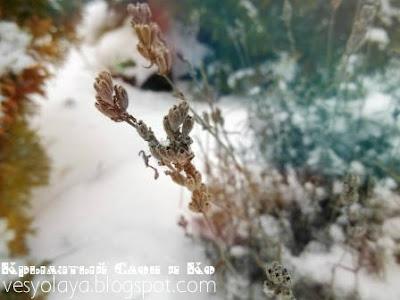 зимняя лаванда