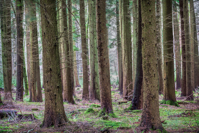Image of multiple straight tree trunks in the New Forest National Park in Hampshire