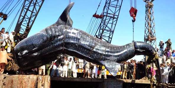 hiu paus terbesar