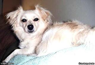 Cute Dogs Papillon Pomeranian Mixed Dog