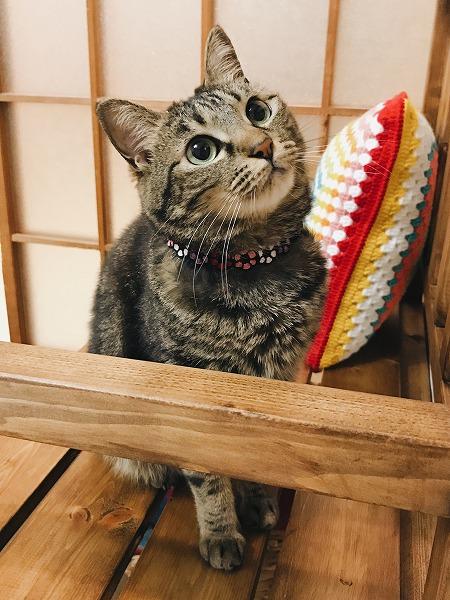 おめめクリクリの美少女猫