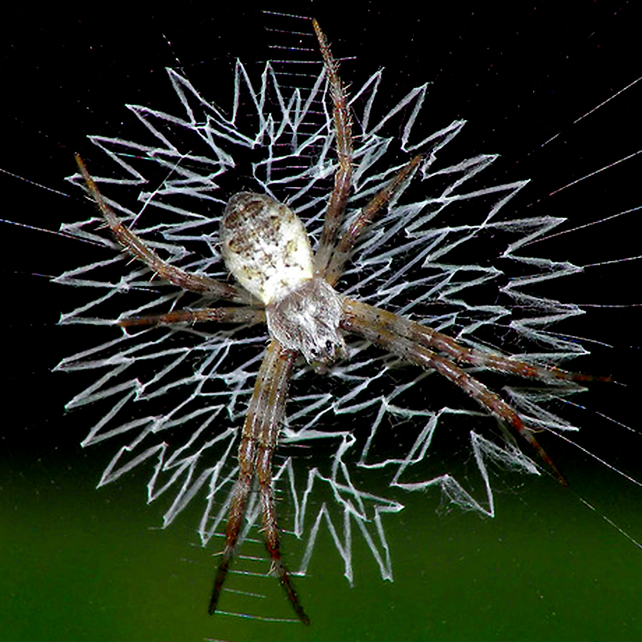 Spider Web Halloween Decorations: Stoffer Hall: A New Species Of Sculptor Spiders