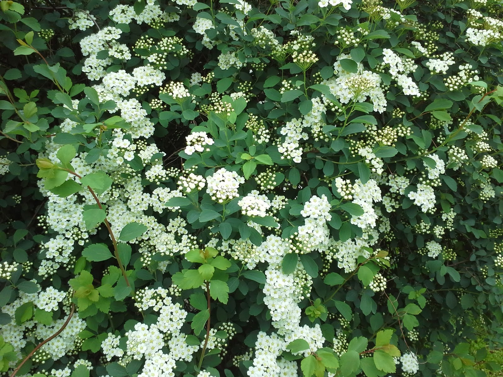 Linda lu 39 s comments how to grow white spirea shrubs for White flowering bush