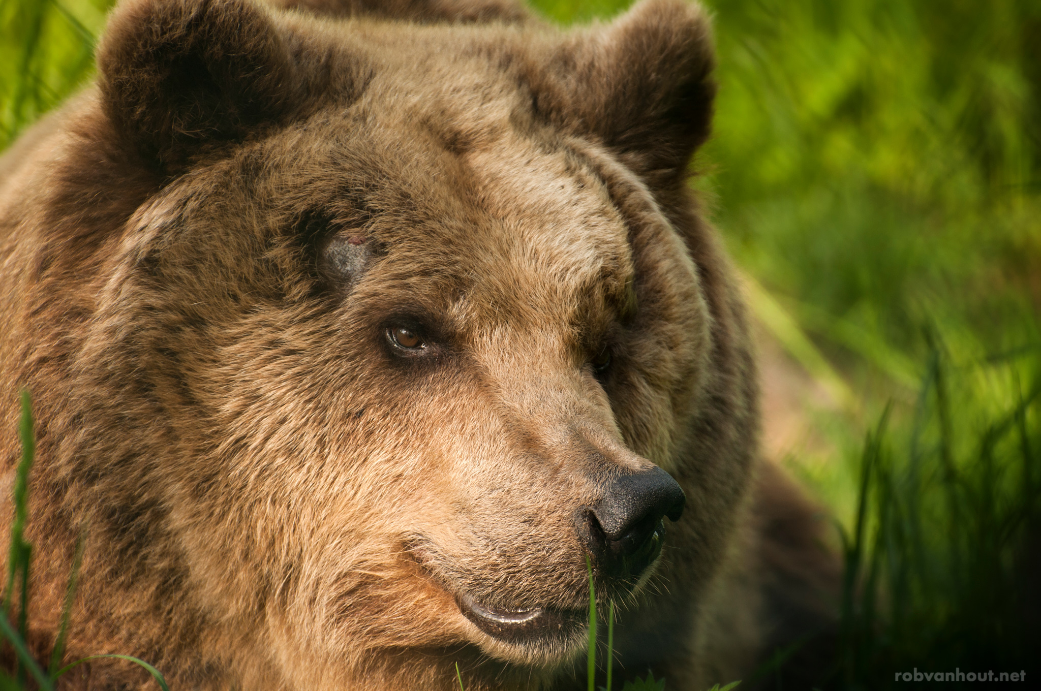 Brown Bear — Alternativer Bärenpark Worbis
