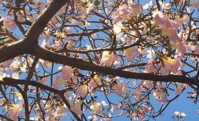 Wallpaper Bunga Tabebuya Putih