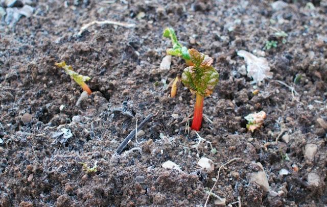 rhubarb shoots in frozen soil