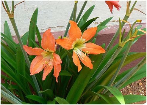 Cảnh giác những cây độc tố chết người khi trồng trong nhà