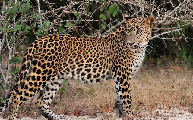 Panthera-pardus