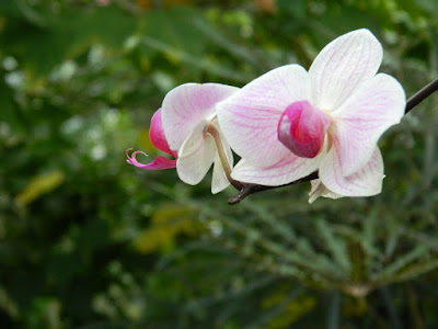 Purple and white Phalaenopsis Moth Orchid hybrid at the Allan Gardens Conservatory by garden muses-not another Toronto gardening blog