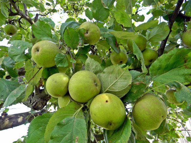 jabłka, jabłoń, gałęzie, sad