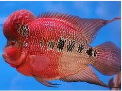 Ikan Hias Air Tawar Termahal Louhan Strorm