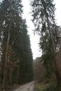 Ein Waldweg führt an riesigen Bäumen vorbei, die wie eine Wand wirken