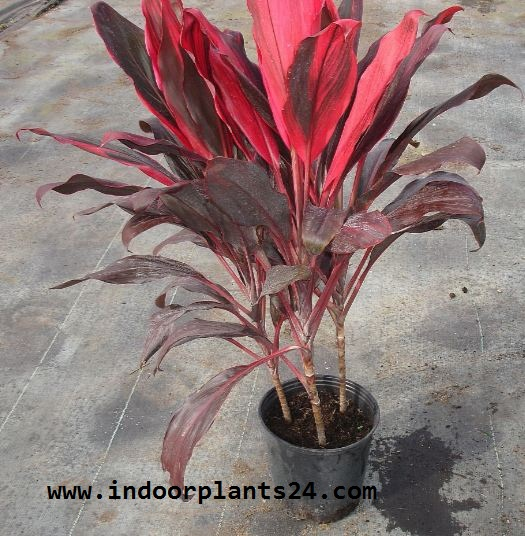 cordyline Fruticosa Plant potted image