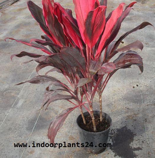 cordyline Fruticosa Plant potted image