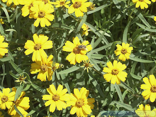 Zinnia angustifolia - Zinnia à feuilles étroites