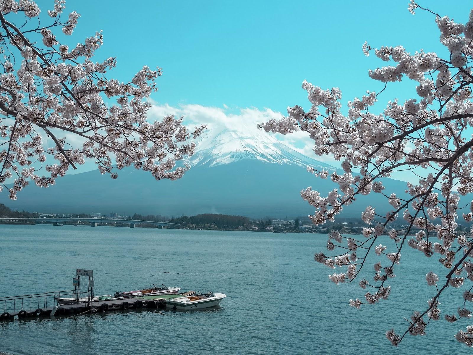 Cherry Blossoms in Lake Kawaguchiko Japan 2018