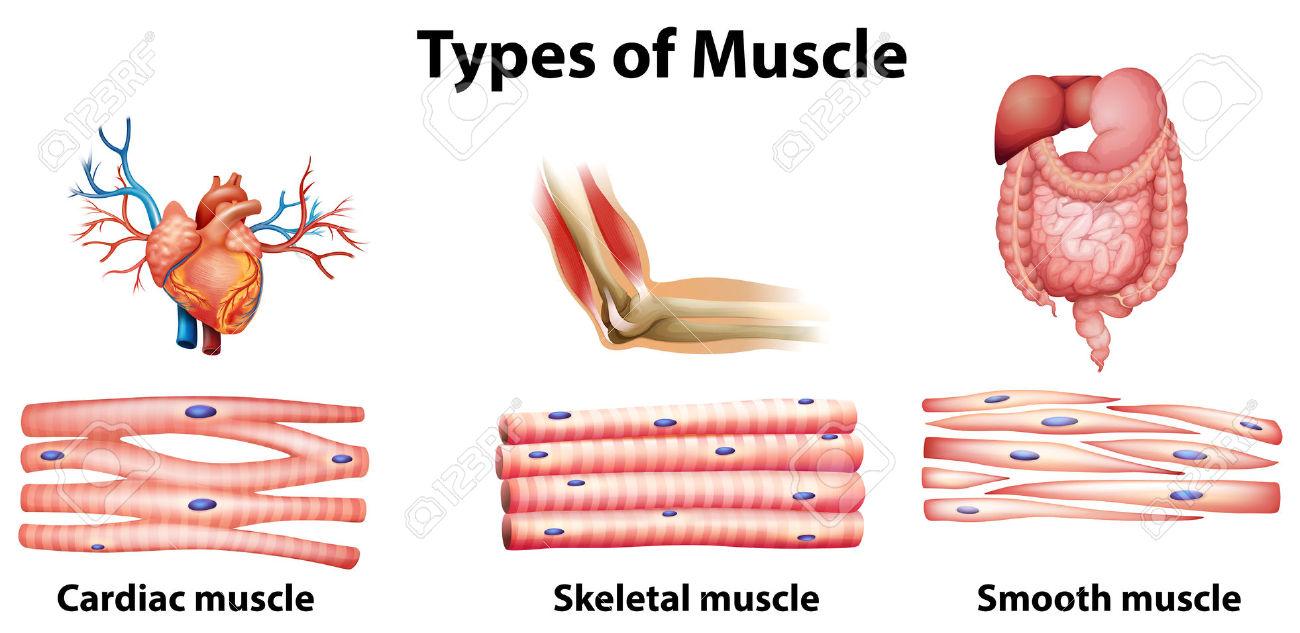 Pras Academy Smp Struktur Dan Fungsi Otot Pada Manusia