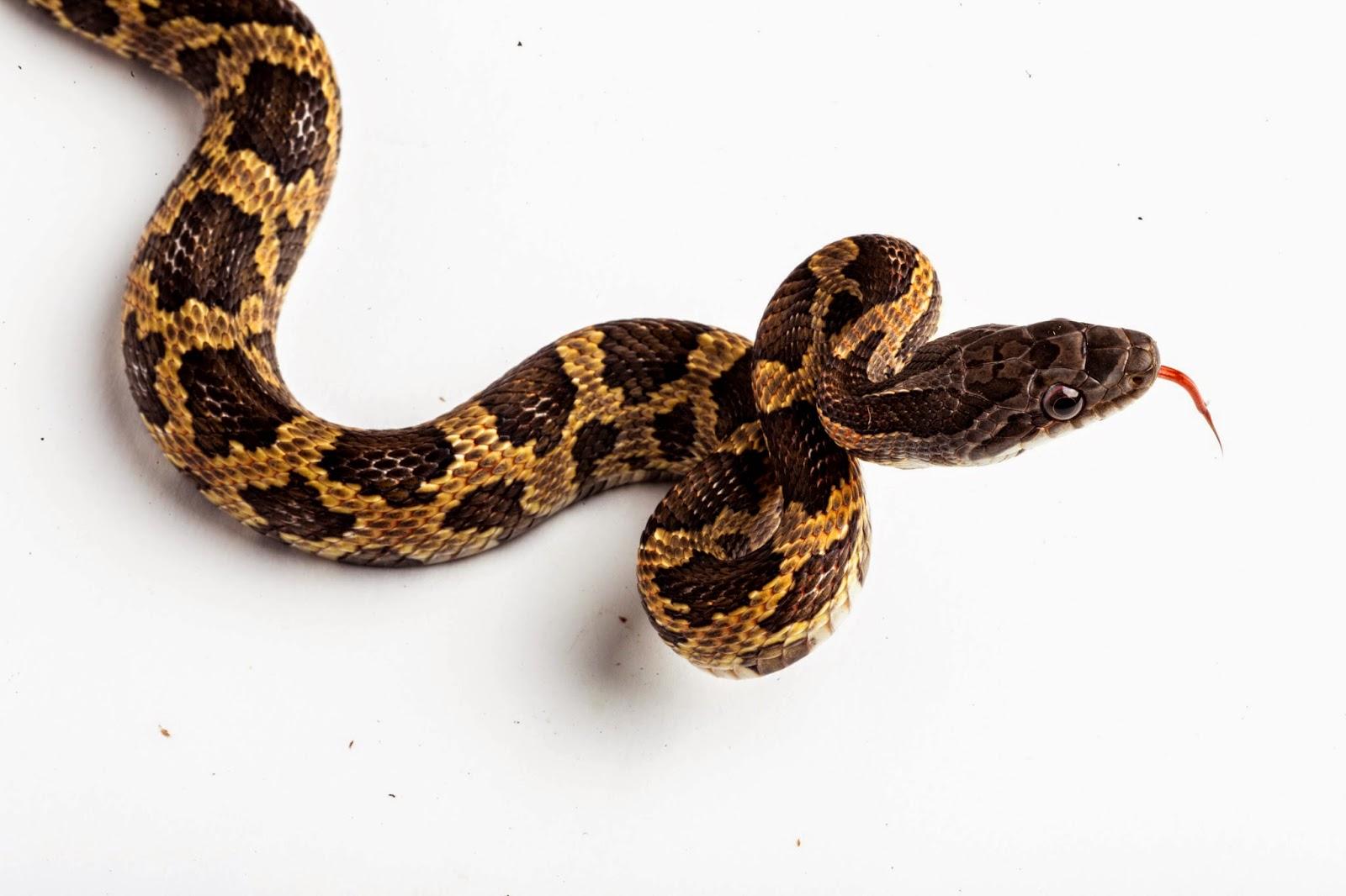 rat snake texas images - photo #23