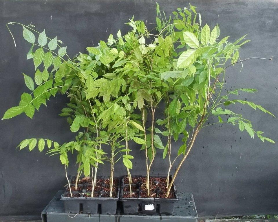 Wisteria Seedlings Http Bonsaibeginnings Blo Co Uk