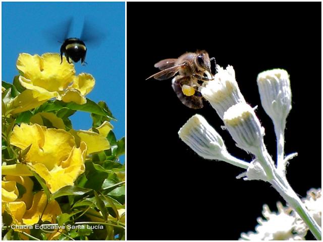 Abejorro y abeja - Chacra Educativa Santa Lucía