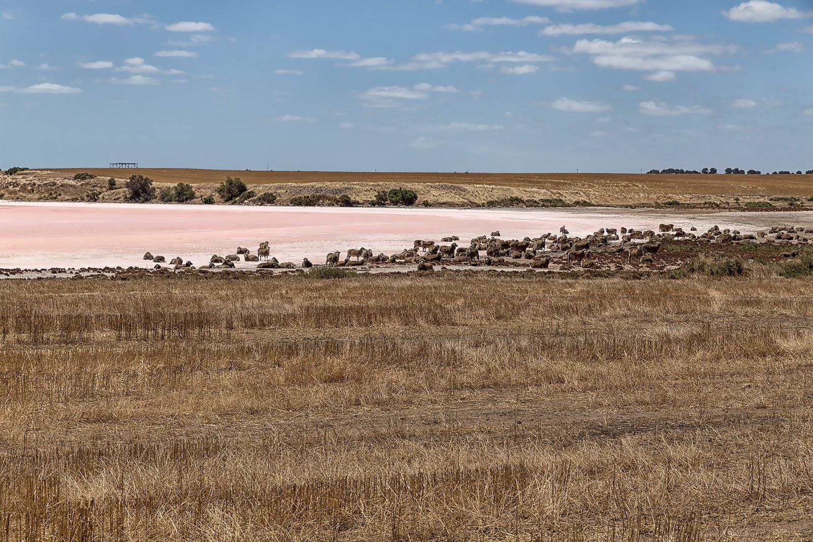 Slone jezioro,stado owiec,Yorke