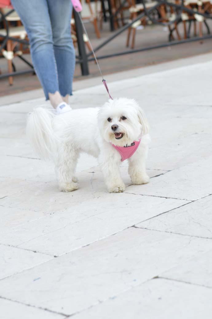 maltese yorkie cute puppy