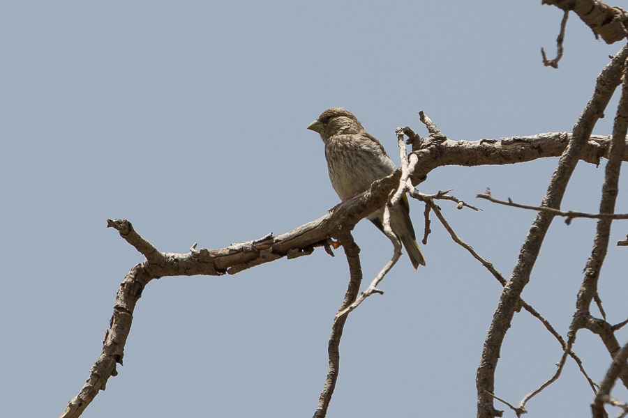 Arabian Golden-winged Grosbeak - juvenile
