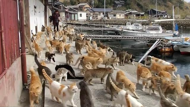جزيرة القطط، اليابان