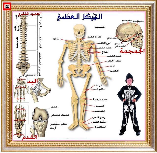 الهيكل العظمي للإنسان