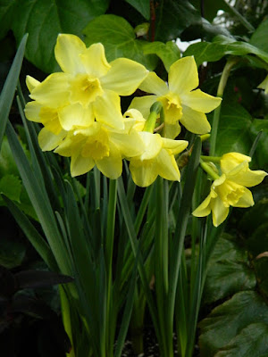 Pale yellow narcissus at the Allan Gardens Conservatory 2018 Spring Flower Show by garden muses-not another Toronto gardening blog