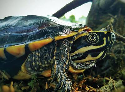 Malayan Snail Eater Turtle Si Kura-Kura Pemakan Siput