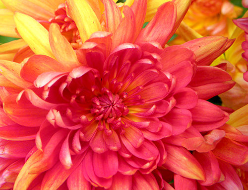 Closeup of individual chrysantemum