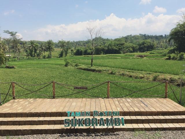 Suasana persawahan yang berada disekeliling Taman Botani Sukorambi