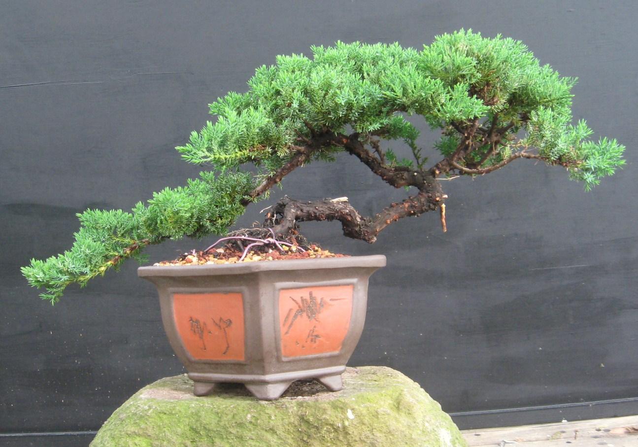 Wiring A Juniper Bonsai - Foundd.net on wiring bonsai step by step, trim juniper bonsai, hollywood juniper bonsai, shaping juniper bonsai, chinese juniper bonsai, shimpaku juniper bonsai, wiring rosemary bonsai, starting juniper bonsai,