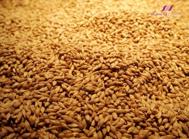 pilsner urquell brewery barley
