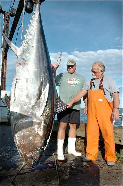 big fishes of the world tuna bluefin thunnus thynnus