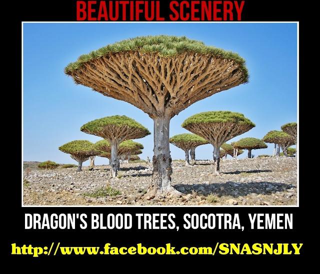 Dragon's Blood Trees, Socatra, Yemen,Beautiful scenery