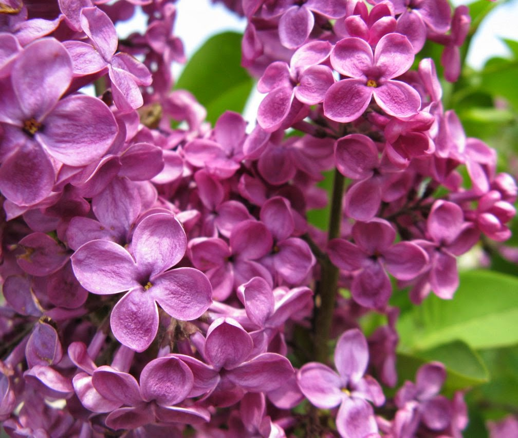 Royal Botanical Gardens syringa vulgaris purple lilac by garden muses-not another Toronto gardening blog