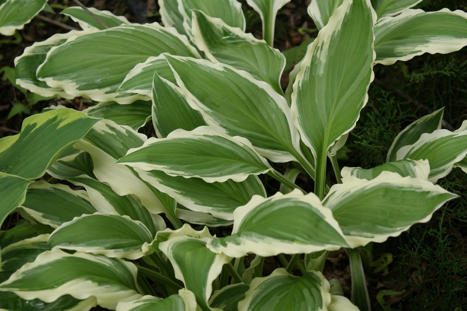 Visit My Garden Ferns And Hostas