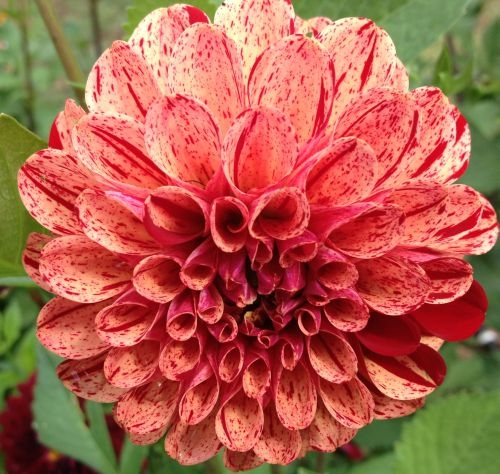 Penn state extension philadelphia master gardeners dahlias for dahlia uk deli or us dli is a genus of bushy tuberousherbaceous perennial plants native mainly in mexico but also central america mightylinksfo