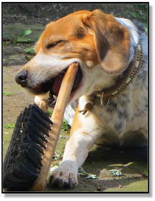 Beagle Hund Emma