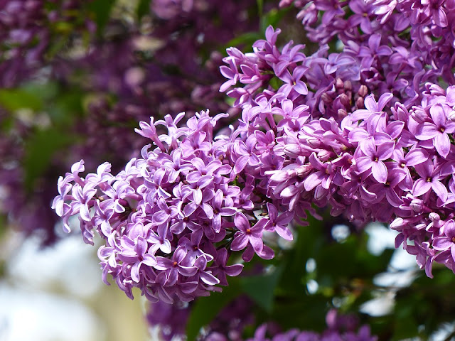 Lots of lilacs on bush