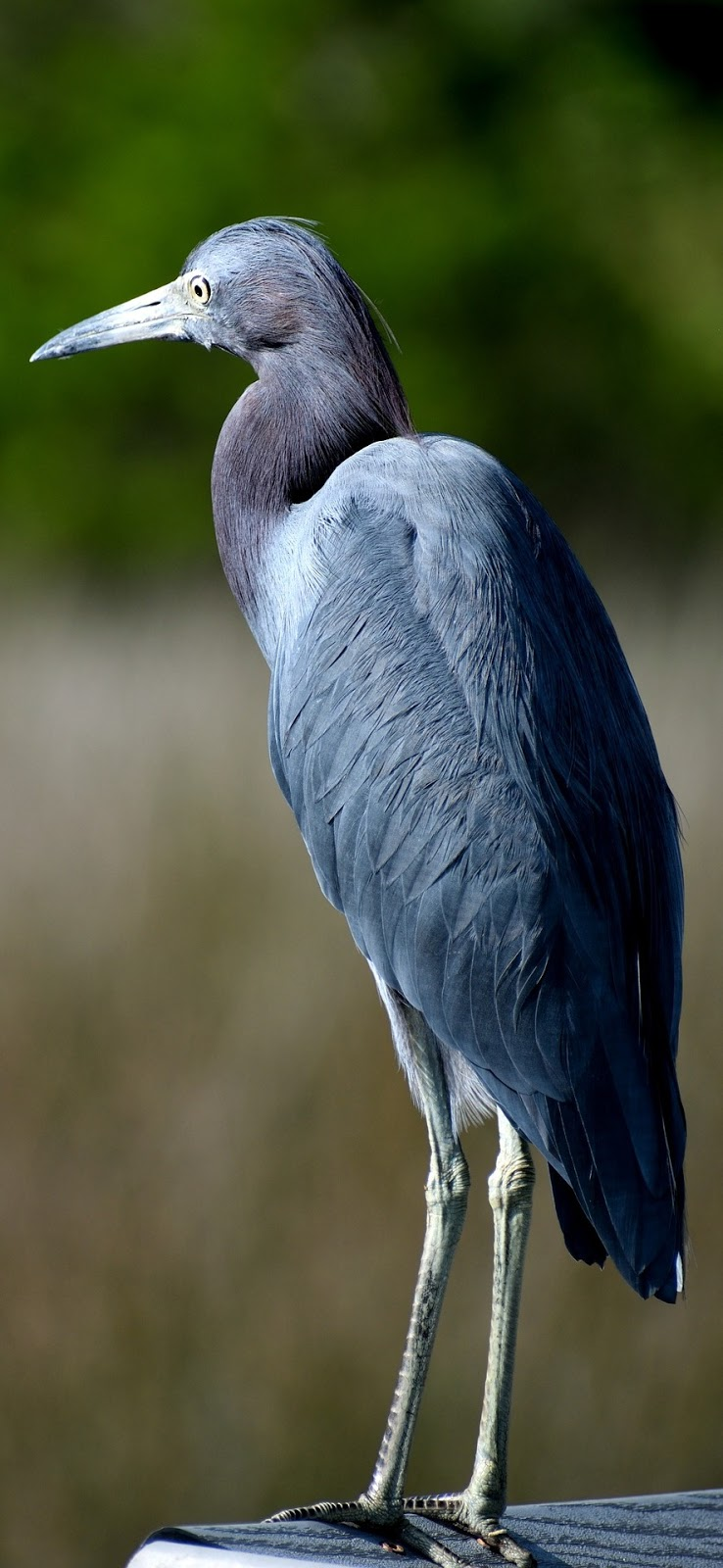 Picture of a blue heron.
